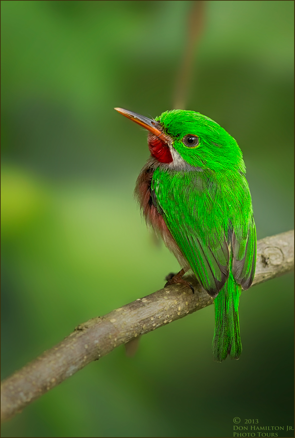 Broad Billed Tody Broad-billed-tody