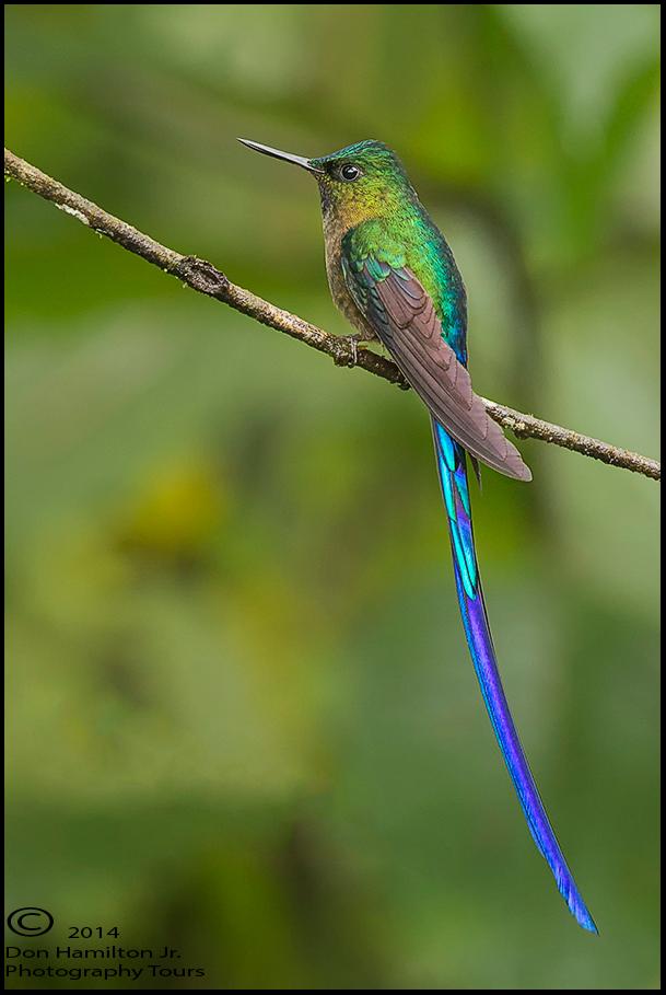 Ecuador Hummingbird Tours